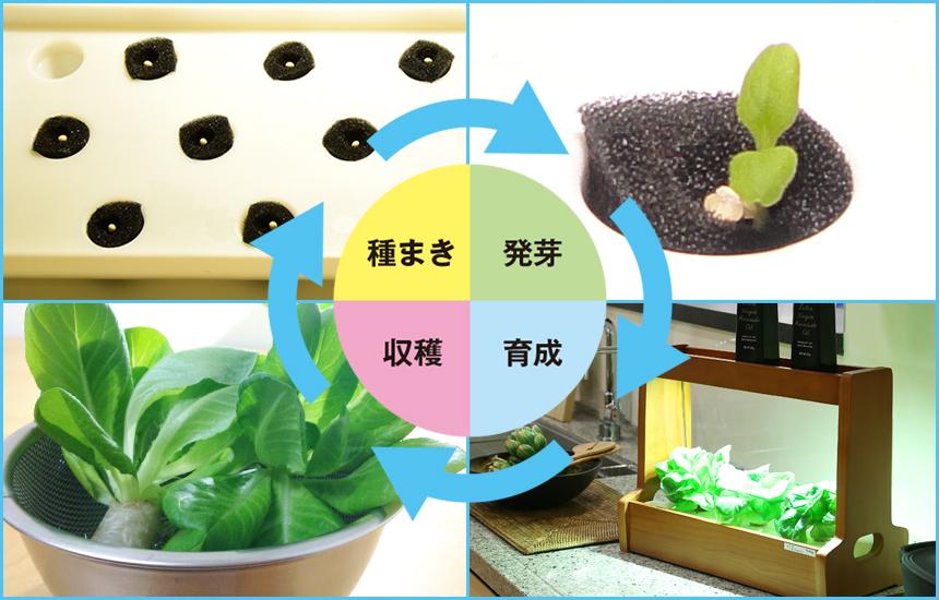 灯菜栽培サイクル
